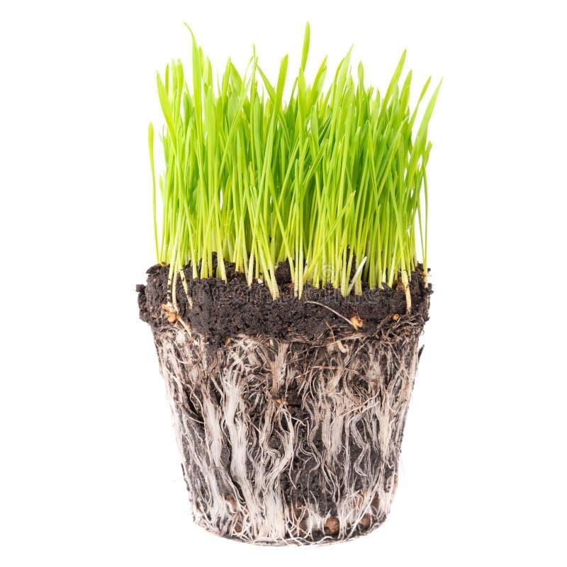 Erba verde con le radici fotografia stock