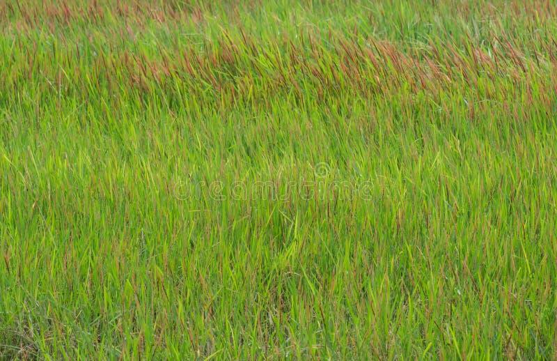 Erba verde con le toppe rosse fotografie stock libere da diritti
