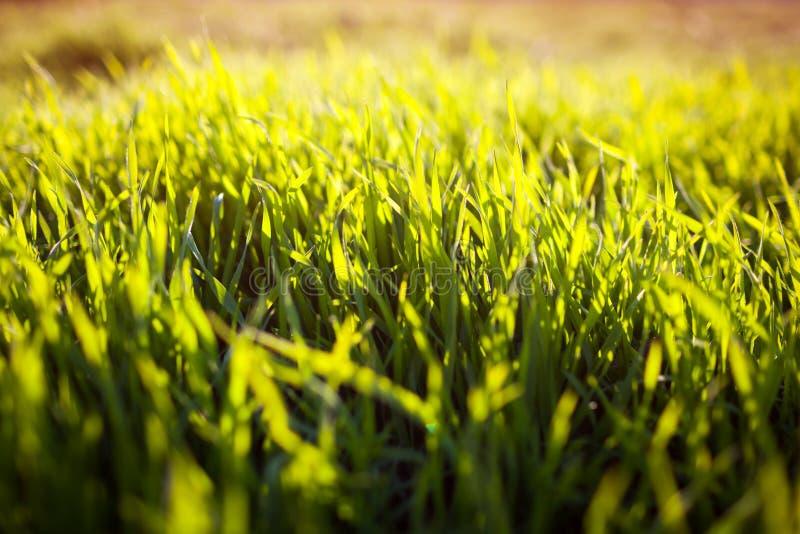 Erba verde della molla sul tramonto Fondo floreale del campo immagini stock