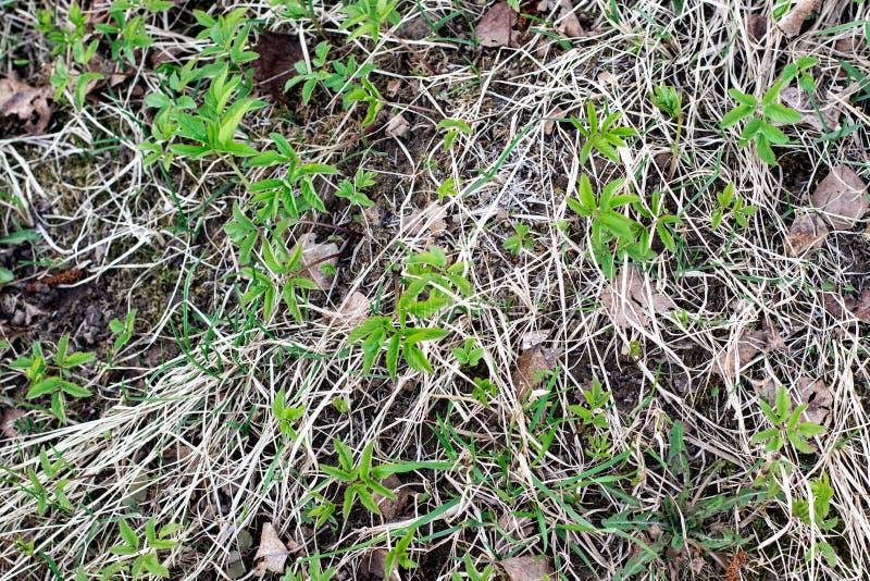 Erba verde della prima molla tenera fotografie stock libere da diritti