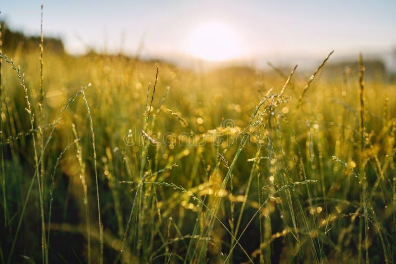 Erba verde di altezza coperta di rugiada di mattina con i fasci luminosi di luce solare su fondo Ampia immagine aperta dell'apert immagini stock libere da diritti