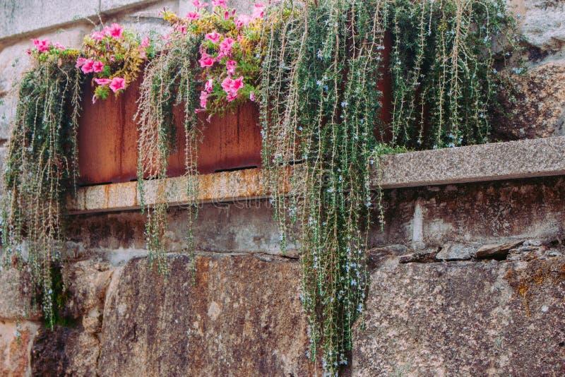 Erba verde e fiori di fioritura in vaso arrugginito del metallo sul muro di mattoni Contenitore stagionato del fiore con le piant immagine stock libera da diritti