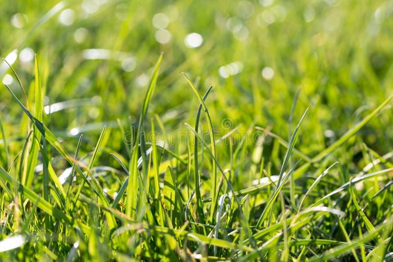 Erba verde fertile succosa sul prato con i punti culminanti del sole nel giorno soleggiato Primo piano naturale del fondo della m fotografia stock libera da diritti