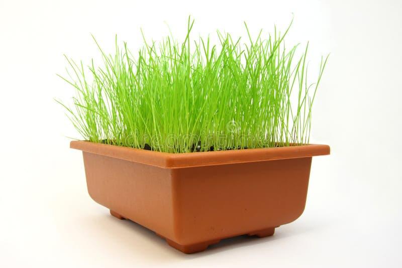 Erba verde in flowerpot fotografia stock