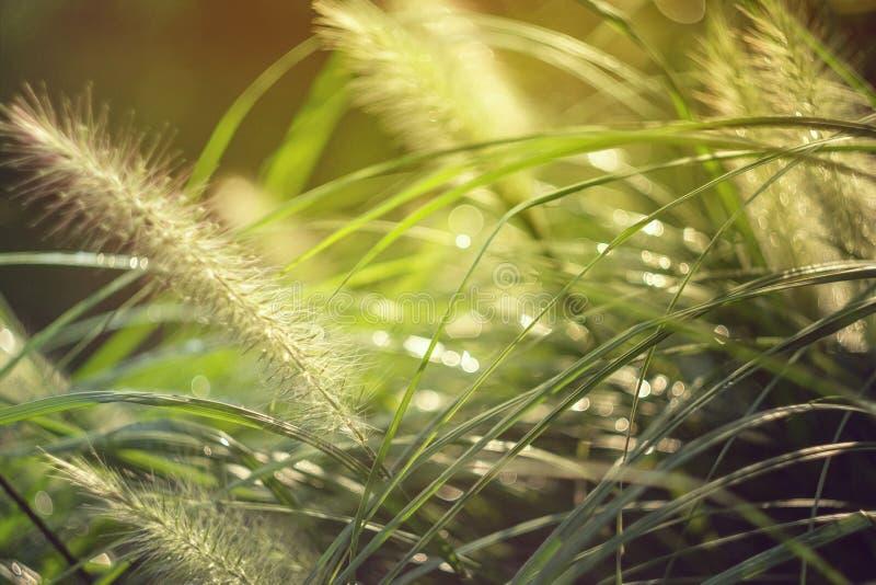 Erba Erba verde fresca della molla con le gocce di rugiada Sun Fuoco molle Priorità bassa astratta della natura immagine stock libera da diritti