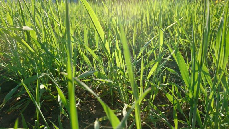 Erba verde fresca nel giardino fotografia stock libera da diritti