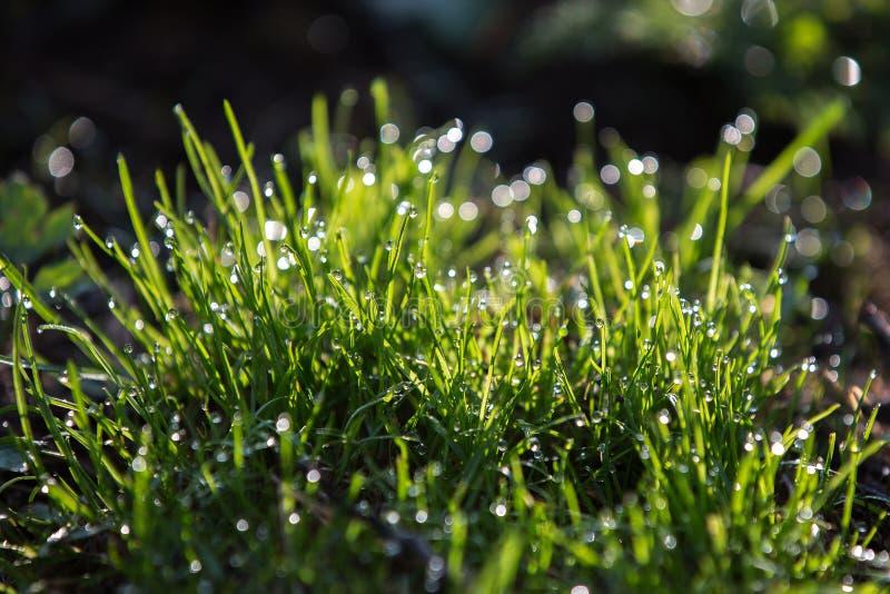 Erba verde intenso con le gocce di rugiada, bello bokeh immagine stock libera da diritti