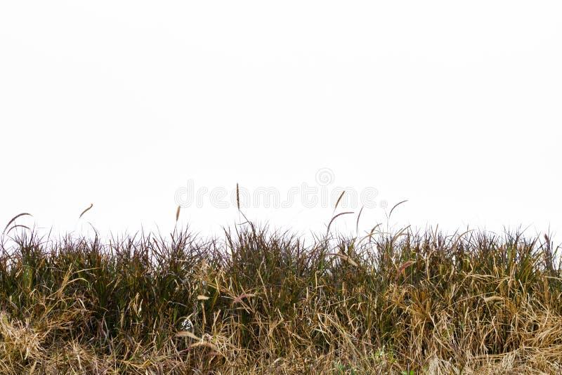Erba verde isolata su priorità bassa bianca fotografie stock