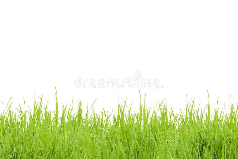 Erba verde isolata su priorità bassa bianca fotografia stock