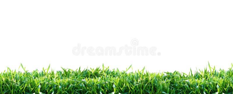 Erba verde isolata su priorità bassa bianca Sfondo naturale fotografia stock libera da diritti