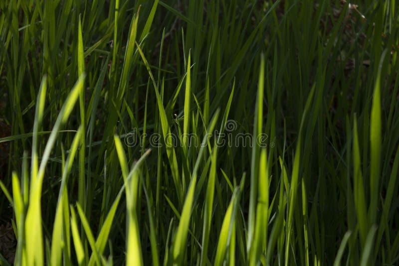 Erba verde lunga immagine stock