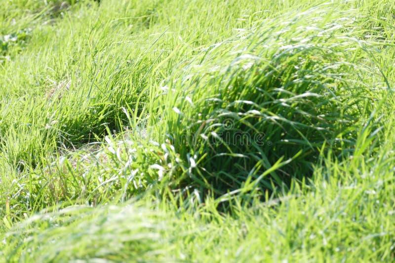 Erba verde selvatica immagine stock