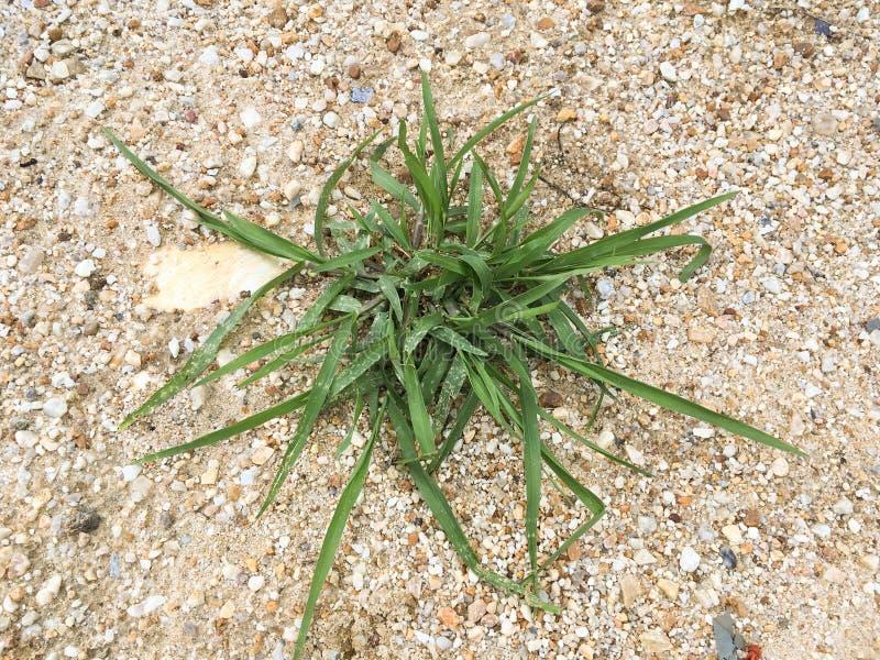 Erba verde sul pavimento della sabbia immagini stock