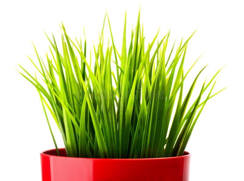 Erba verde in un vaso rosso immagine stock libera da diritti