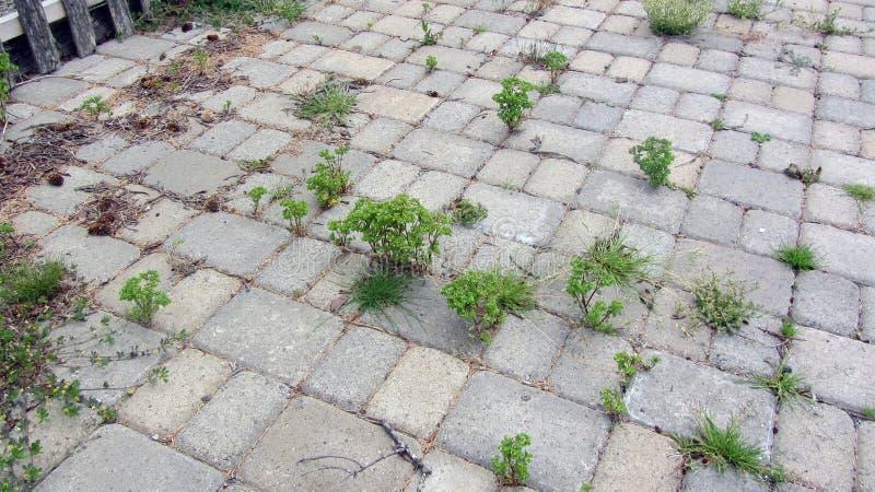 Erbacce che crescono tramite i lastricatori su un patio fotografia stock