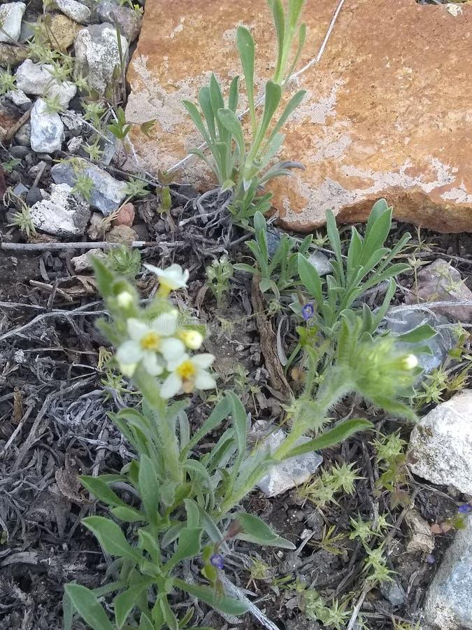 Erbacce di fioritura bianca vicine su roccia arancio immagini stock