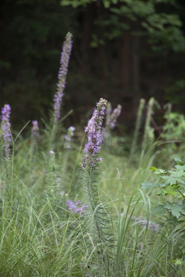 Erbacce porpora che crescono nella foresta fotografia stock