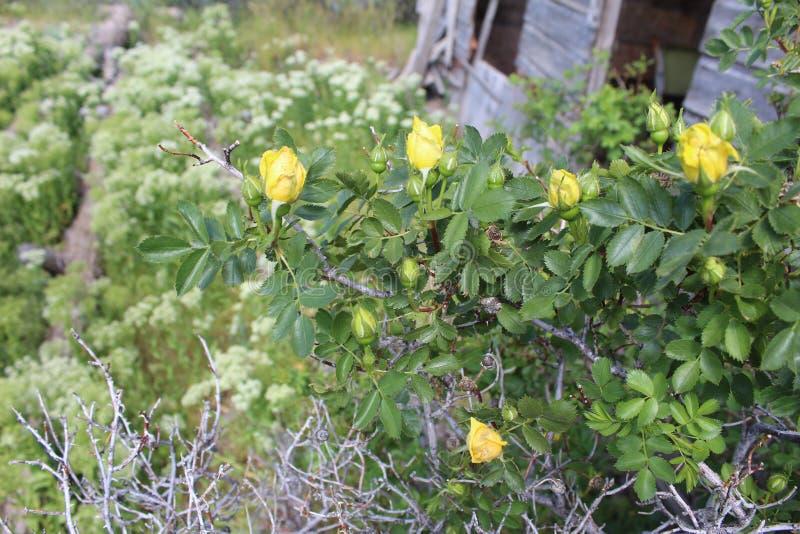 Erbacce rosa gialle del fiore bianco del germoglio fotografia stock