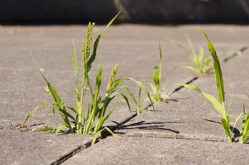 Erbacce verdi che crescono attraverso le crepe in marciapiede concreto in sunli fotografie stock libere da diritti