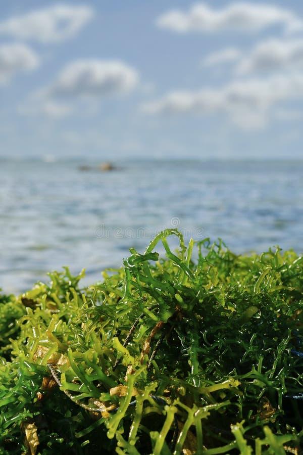 erbaccia del mare raccolta appena fotografia stock libera da diritti