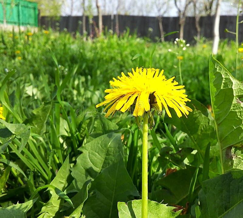 Erbaccia gialla della natura del giardino del dente di leone immagine stock