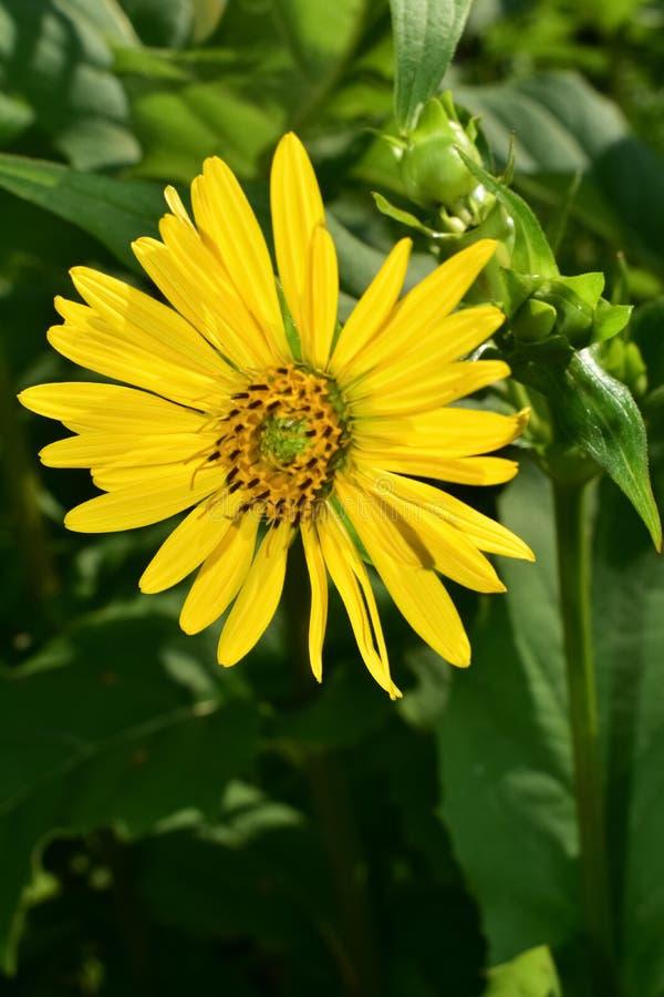 Erbaccia gialla di Rosen del fiore selvaggio immagine stock libera da diritti