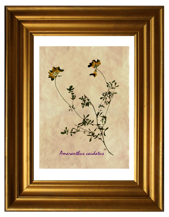 Erbario di erba medica gialla fotografia stock