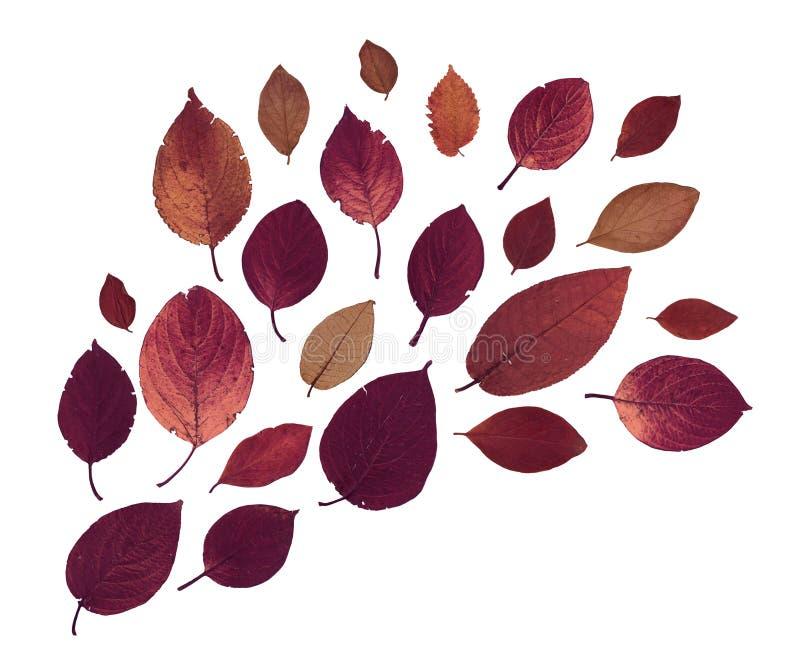 Erbario secco urgente delle foglie di rosso isolate su fondo bianco fotografia stock