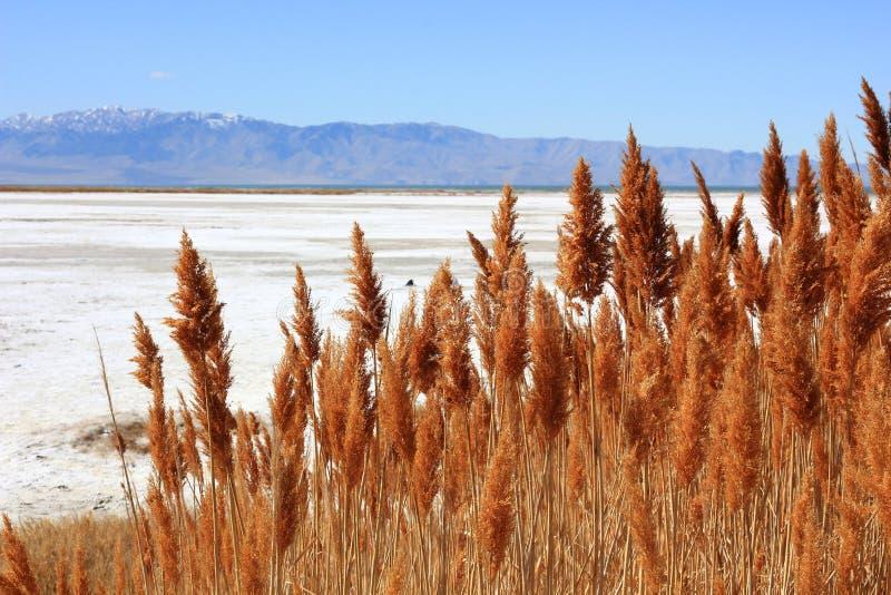 Erbe asciutte Gran Lago Salato nell'Utah immagine stock libera da diritti