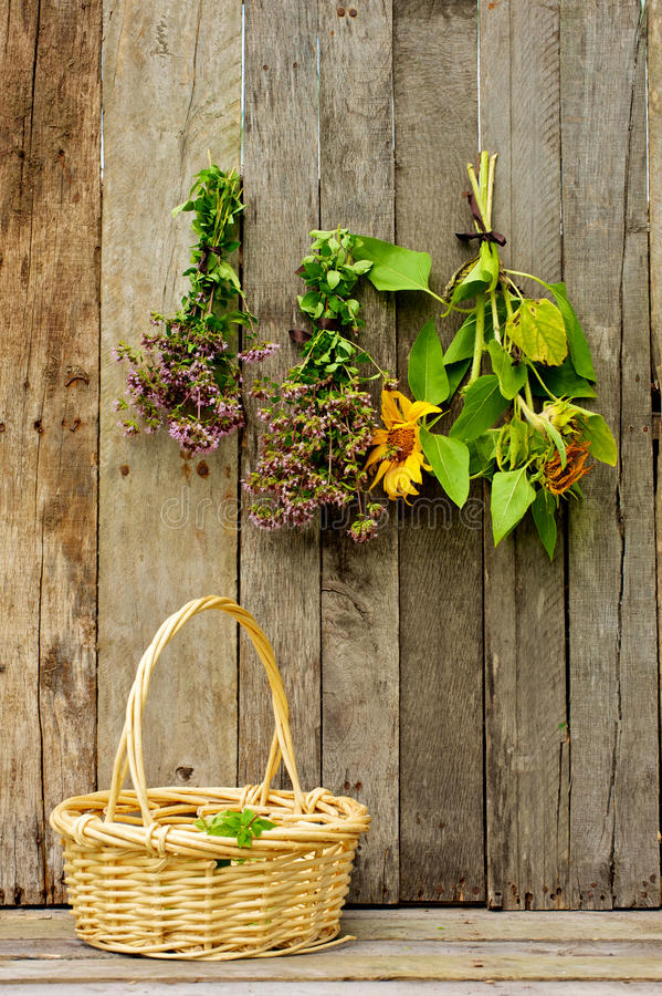Erbe e girasoli che si asciugano su una parete del granaio. fotografia stock libera da diritti