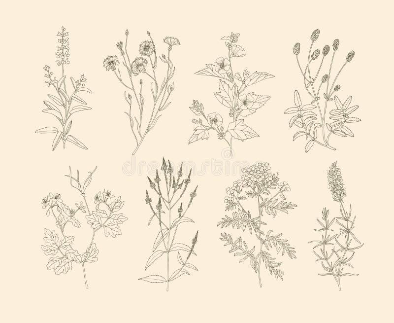 Erbe medicinali di vettore royalty illustrazione gratis