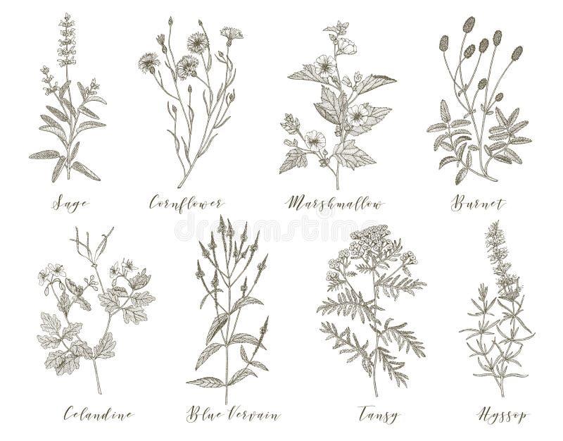 Erbe medicinali di vettore illustrazione vettoriale