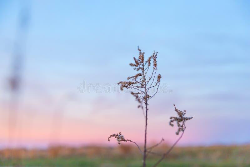Erbe secche selvatiche alla luce di crepuscolo di rosa pastello con cielo blu più fotografia stock