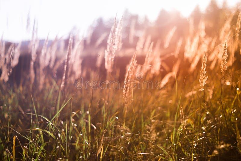 Erbe selvatiche nel tramonto immagine stock