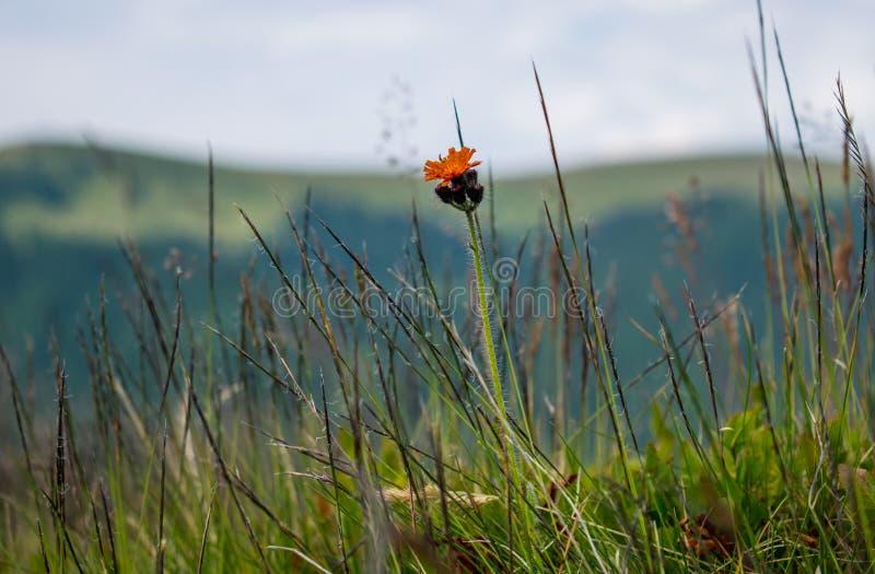 Erben, seiend in den Gebirgsgeb?uden Ein Feld mit vielen des Grüns und schönen orange Blume Bewundern der Schönheiten des Berges lizenzfreies stockfoto