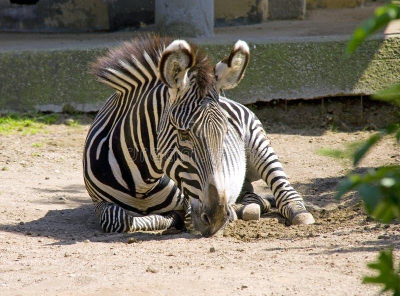 Erbivoro a strisce della savanna dispari-piantato cavallo della zebra fotografia stock