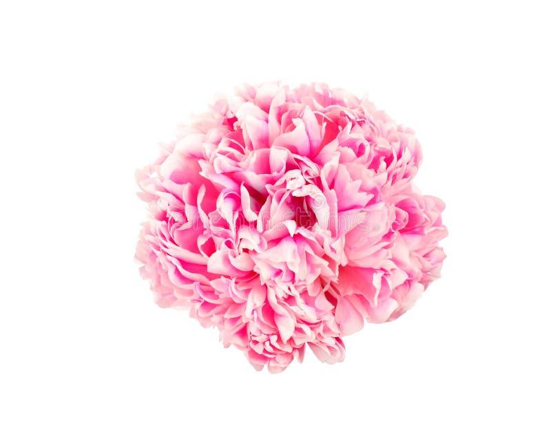 Erbjuda den rosa pionblomman royaltyfri foto