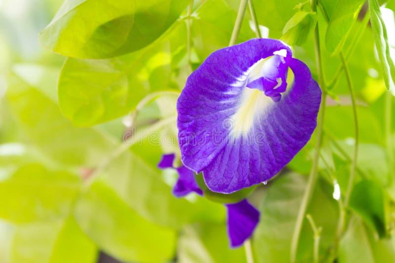 Erbsenblume oder asiatische pigeonwings lizenzfreies stockbild