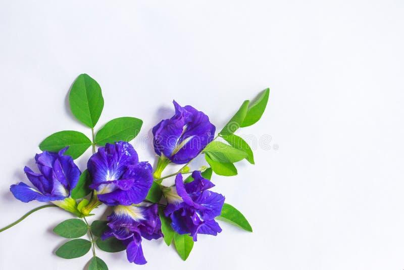 Erbsenblumen gelegt auf ein Weißbuch für Gebrauch in Design oder in Werbung, die als das Weiß Hintergrund lokalisierten stockbilder