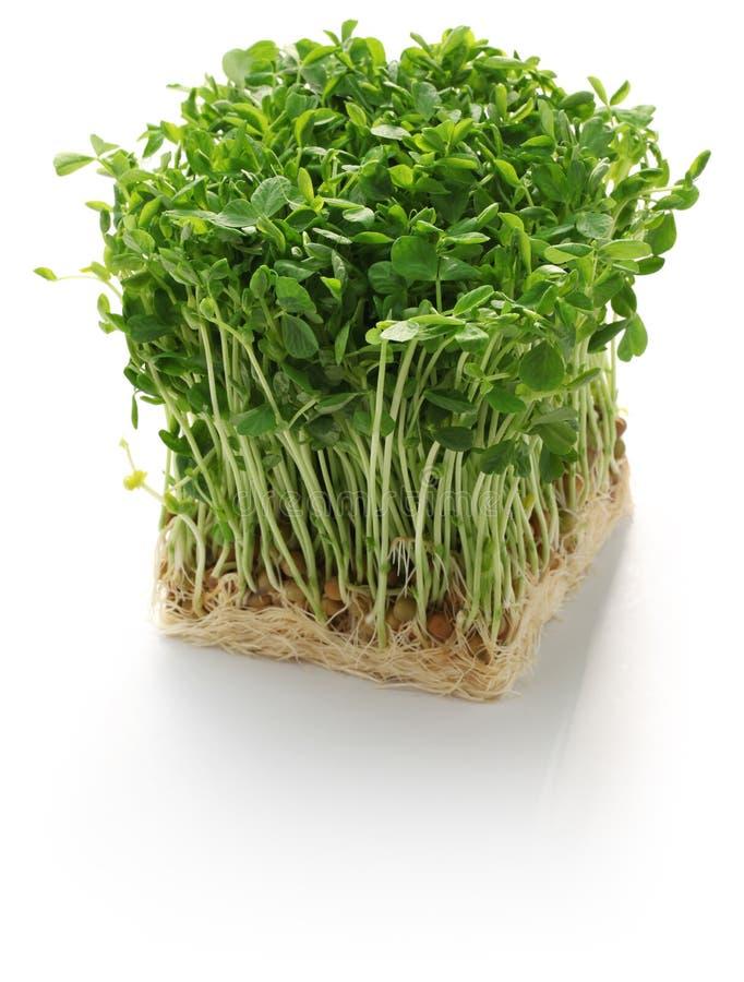 Erbsentrieb, chinesisches Gemüse stockbild