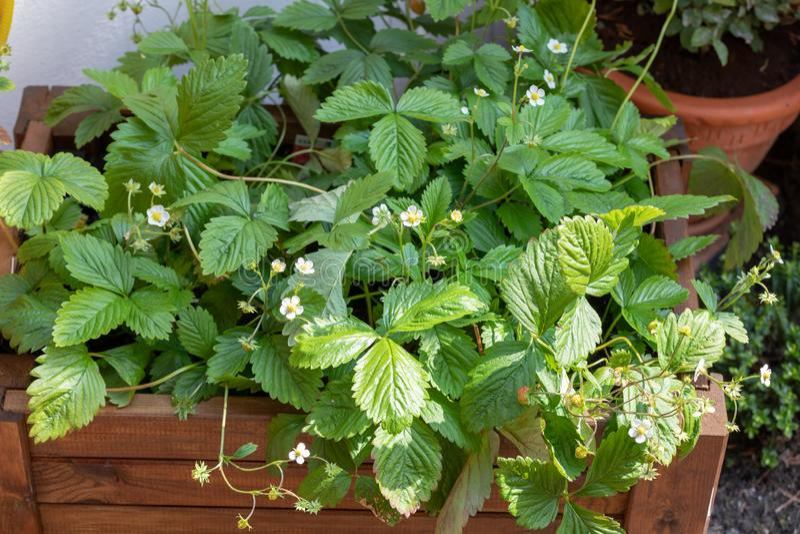 Erdbeeranlage mit Fr?chten und Blumen, Walderdbeere, Fragaria vesca stockfotografie