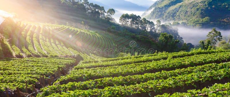 Erdbeerbauernhof-Reihenschicht auf Hügel an doi angkhang Berg, ch lizenzfreie stockfotos