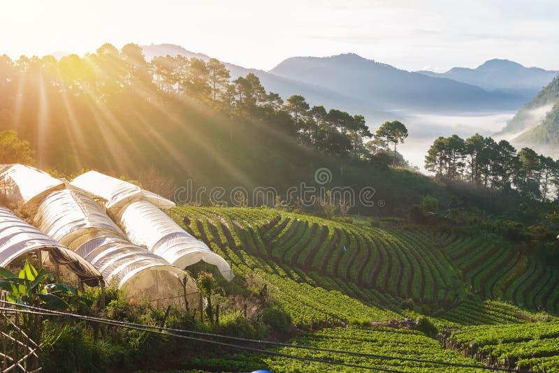 Erdbeerbauernhof-Reihenschicht auf Hügel an doi angkhang Berg, ch stockbild