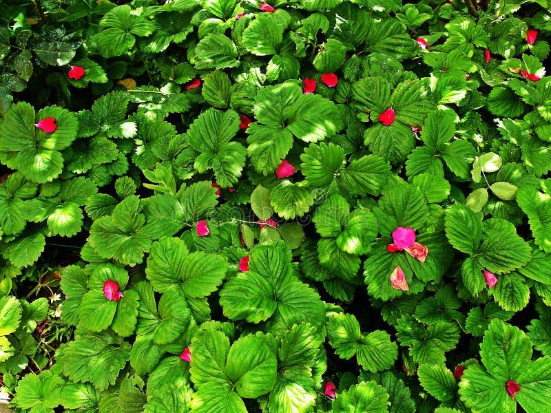 Erdbeerblätter stockbild