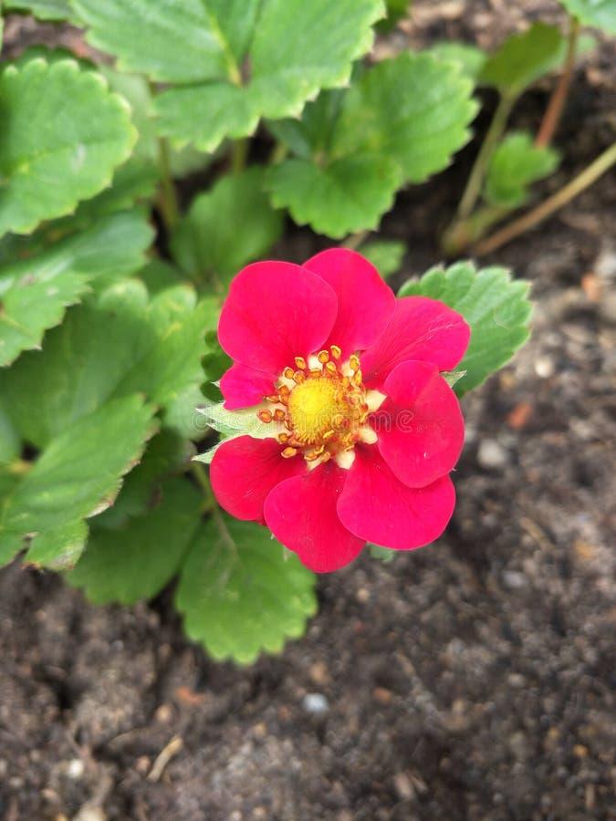 Erdbeerblume lizenzfreie stockfotos