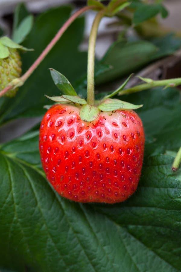 Erdbeerbusch, der im Garten wächst stockfotografie