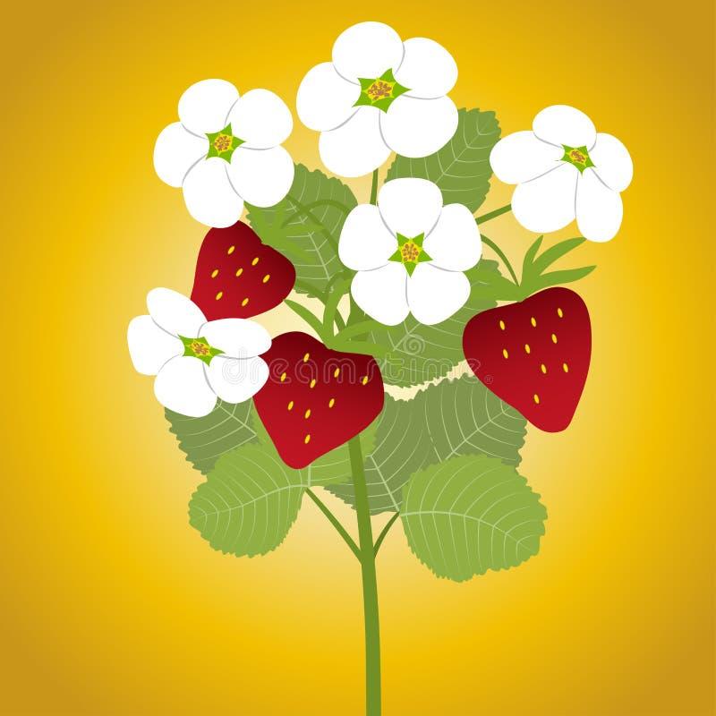 Erdbeere blüht Niederlassung lizenzfreie abbildung