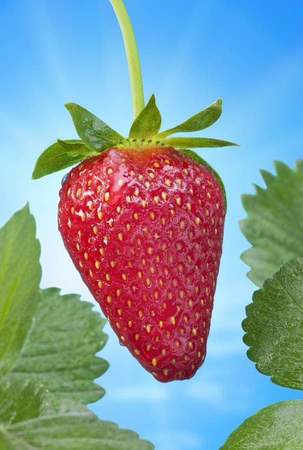 Erdbeere-blauer Frühlings-Himmel stockfoto