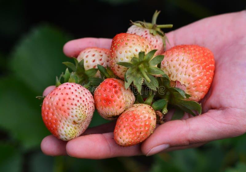 Erdbeere in der Hand lizenzfreie stockfotos