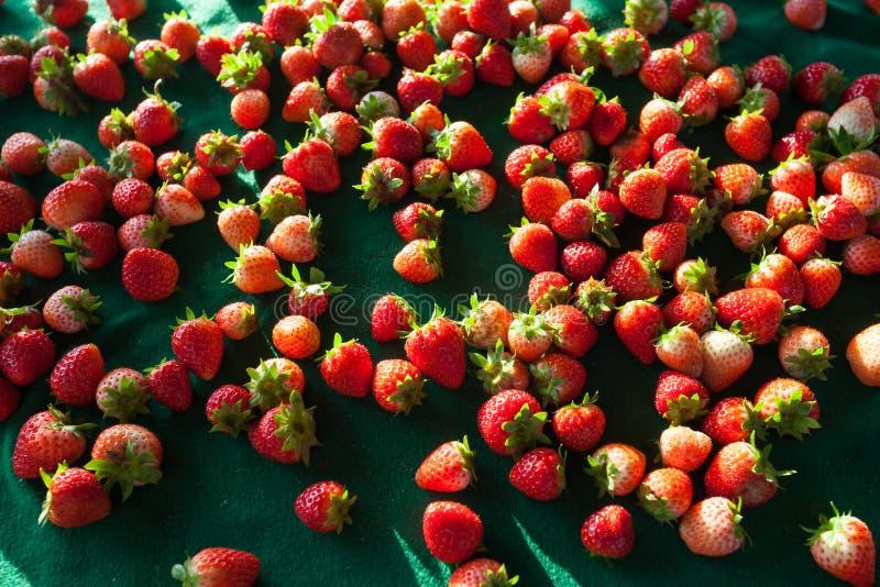 Erdbeere in Doi Angkhang, Chiangmai Thailand stockfoto
